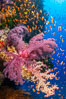 Brilliantlly colorful coral reef, with swarms of anthias fishes and soft corals, Fiji. Bligh Waters. Image #34722