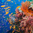 Brilliantlly colorful coral reef, with swarms of anthias fishes and soft corals, Fiji. Bligh Waters. Image #34723