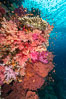 Dendronephthya soft corals and schooling Anthias fishes, feeding on plankton in strong ocean currents over a pristine coral reef. Fiji is known as the soft coral capitlal of the world. Fiji. Image #34742