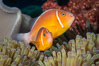 Pink Skunk Anemone Fish, Amphiprion perideraion, Fiji. Image #34746