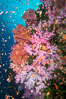 Beautiful South Pacific coral reef, with Plexauridae sea fans, schooling anthias fish and colorful dendronephthya soft corals, Fiji. Image #34766