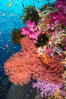 Beautiful South Pacific coral reef, with Plexauridae sea fans, schooling anthias fish and colorful dendronephthya soft corals, Fiji. Image #34769