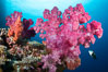 Closeup view of  colorful dendronephthya soft corals, reaching out into strong ocean currents to capture passing planktonic food, Fiji. Vatu I Ra Passage, Bligh Waters, Viti Levu Island, Fiji. Image #34780