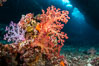 Fiji is the soft coral capital of the world, Seen here are beautifully colorful dendronephthya soft corals reaching out into strong ocean currents to capture passing planktonic food, Fiji. Vatu I Ra Passage, Bligh Waters, Viti Levu Island, Fiji. Image #34783