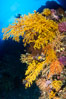 Colorful Chironephthya soft coral coloniea in Fiji, hanging off wall, resembling sea fans or gorgonians. Vatu I Ra Passage, Bligh Waters, Viti Levu Island, Fiji. Image #34790