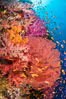 Beautiful South Pacific coral reef, with Plexauridae sea fans, schooling anthias fish and colorful dendronephthya soft corals, Fiji. Image #34803