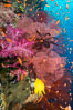 Beautiful South Pacific coral reef, with Plexauridae sea fans, schooling anthias fish and colorful dendronephthya soft corals, Fiji. Image #34807