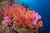 Beautiful South Pacific coral reef, with Plexauridae sea fans, schooling anthias fish and colorful dendronephthya soft corals, Fiji. Image #34820