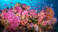 Vibrant displays of color among dendronephthya soft corals on South Pacific reef, reaching out into strong ocean currents to capture passing planktonic food, Fiji. Vatu I Ra Passage, Bligh Waters, Viti Levu Island. Image #34882