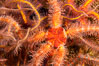 Spiny brittle stars (starfish) detail. Image #35077