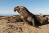 Northern elephant seals, Piedras Blancas. San Simeon, California, USA. Image #35130