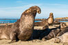 Northern elephant seals, Piedras Blancas. San Simeon, California, USA. Image #35131
