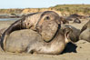 A bull elephant seal forceably mates (copulates) with a much smaller female, often biting her into submission and using his weight to keep her from fleeing. Males may up to 5000 lbs, triple the size of females. Sandy beach rookery, winter, Central California. Piedras Blancas, San Simeon, USA. Image #35132
