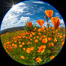 California Poppies, Rancho La Costa, Carlsbad. USA. Image #35188