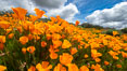 California Poppies, Rancho La Costa, Carlsbad. USA. Image #35191