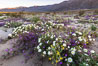 Dune primrose (white) and sand verbena (purple) bloom in spring in Anza Borrego Desert State Park, mixing in a rich display of desert color. Anza-Borrego Desert State Park, Borrego Springs, California, USA. Image #35217