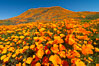 California Poppies in Bloom, Elsinore. Elsinore, California, USA. Image #35225