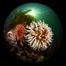Vancouver Island hosts a profusion of spectacular anemones, on cold water reefs rich with invertebrate life. Browning Pass, Vancouver Island. British Columbia, Canada. Image #35264