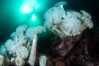 Giant Plumose Anemones cover underwater reef, Browning Pass, northern Vancouver Island, Canada. British Columbia. Image #35267