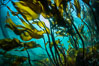Bull kelp forest near Vancouver Island and Queen Charlotte Strait, Browning Pass, Canada. British Columbia. Image #35331