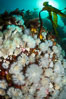 White metridium anemones fed by strong ocean currents, cover a cold water reef teeming with invertebrate life. Browning Pass, Vancouver Island. British Columbia, Canada. Image #35333