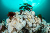 White metridium anemones fed by strong ocean currents, cover a cold water reef teeming with invertebrate life. Browning Pass, Vancouver Island. British Columbia, Canada. Image #35347