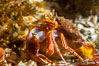 Hermit Crab, Browning Pass, Vancouver Island. British Columbia, Canada. Image #35356