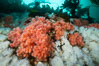 Pink Soft Coral (Gersemia Rubiformis), and Plumose Anemones (Metridium senile) cover the ocean reef, Browning Pass, Vancouver Island. British Columbia, Canada. Image #35471