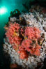 Pink Soft Coral (Gersemia Rubiformis), and Plumose Anemones (Metridium senile) cover the ocean reef, Browning Pass, Vancouver Island. British Columbia, Canada. Image #35481