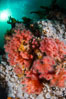 Pink Soft Coral (Gersemia Rubiformis), and Plumose Anemones (Metridium senile) cover the ocean reef, Browning Pass, Vancouver Island. British Columbia, Canada. Image #35482
