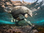 Young California sea lions playing underwater, Coronados Islands, Baja California, Mexico. Coronado Islands (Islas Coronado). Image #35853