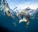 Young California sea lions playing underwater, Coronados Islands, Baja California, Mexico. Coronado Islands (Islas Coronado). Image #35858