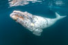 White southern right whale calf underwater, Eubalaena australis, Argentina. Puerto Piramides, Chubut. Image #35908