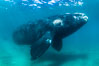 Inquisitive southern right whale underwater, Eubalaena australis, closely approaches cameraman, Argentina. Puerto Piramides, Chubut. Image #35943