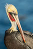 Portrait of the California Race of the Brown Pelican, La Jolla, California. Image #36604