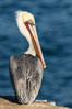 Portrait of the California Race of the Brown Pelican, La Jolla, California. Image #36607