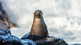 California Sea Lion Posing of Rocks in La Jolla, near San Diego California. Image #36609