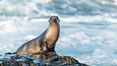California Sea Lion Posing of Rocks in La Jolla, near San Diego California. Image #36610