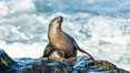 California Sea Lion Posing of Rocks in La Jolla, near San Diego California. Image #36611