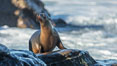 California Sea Lion Posing of Rocks in La Jolla, near San Diego California. Image #36612
