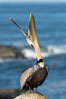 California Brown Pelican head throw, stretching its throat to keep it flexible and healthy. La Jolla, USA. Image #36678