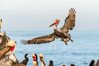 California brown pelican in flight, spreading wings wide to slow in anticipation of landing on seacliffs. La Jolla, USA. Image #36679