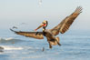 California brown pelican in flight, spreading wings wide to slow in anticipation of landing on seacliffs. La Jolla, USA. Image #36680