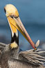 Brown pelican preening, cleaning its feathers after foraging on the ocean, with distinctive winter breeding plumage with distinctive dark brown nape, yellow head feathers and red gular throat pouch. La Jolla, California, USA. Image #36681
