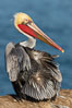 A brown pelican preening, uropygial gland (preen gland) visible near the base of its tail. Preen oil from the uropygial gland is spread by the pelican's beak and back of its head to all other feathers on the pelican, helping to keep them water resistant and dry. Note adult winter breeding plumage in display, with brown neck, red gular throat pouch and yellow and white head. La Jolla, California, USA. Image #36682
