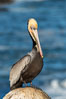 Brown pelican portrait, displaying winter plumage with distinctive yellow head feathers and colorful gular throat pouch. La Jolla, California, USA. Image #36684