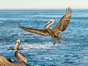 California brown pelican in flight, spreading wings wide to slow in anticipation of landing on seacliffs. La Jolla, USA. Image #36686