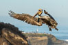 California brown pelican in flight, spreading wings wide to slow in anticipation of landing on seacliffs. La Jolla, USA. Image #36687