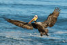 California brown pelican in flight, spreading wings wide to slow in anticipation of landing on seacliffs. La Jolla, USA. Image #36693