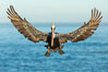California brown pelican in flight, braking to land on seacliffs. La Jolla, USA. Image #36726